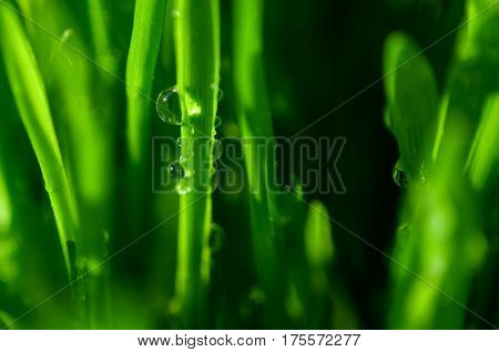 Macro view of green grass with big drops of dew. Natural background. Green grass pattern