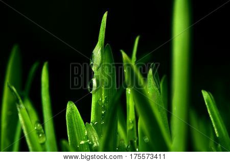 Drops of dew on fresh green grass. Macro view of green grass on a black background.