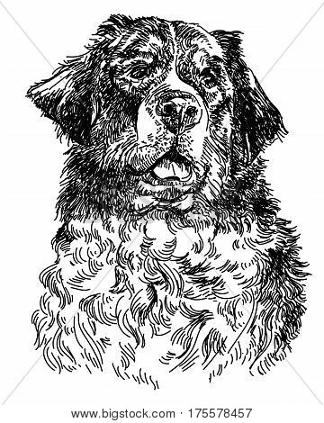 Graphic portrait of swiss bernese dog big black dog swiss mountain dog hand drawing illustration. Vector isolated on a white background.