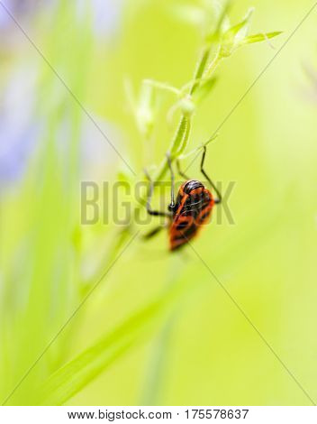 Firebug (Pyrrhocoris apterus) on the green stalk.