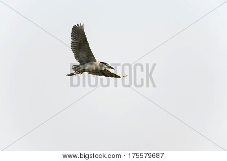 Adult Black-crowned Night-Heron flying with wings high