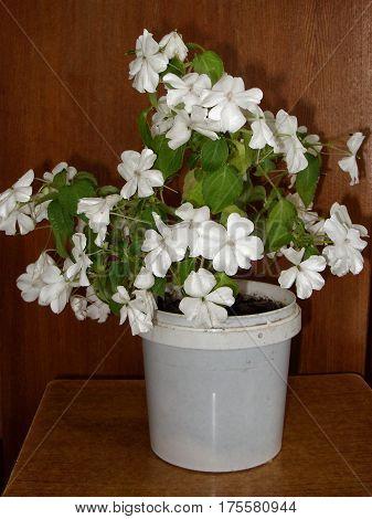 In the flowerpot blooms flower balsam white