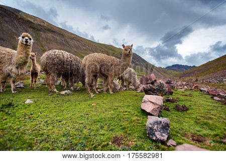 Llama grazing in valley in Peru near a hiking trail