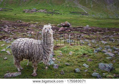 Llama looking towards camera in grazing landscape