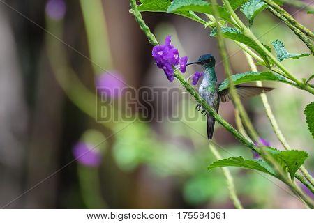 Hummingbird sucking nectar from a purple flower