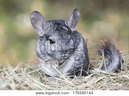Wild grey chinchilla sitting on straw outdoors