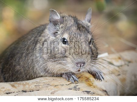 Small degu put the paws on a snag in the woods