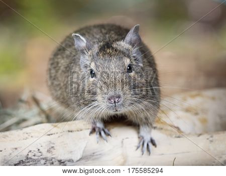 Portrait of a small degu in the woods