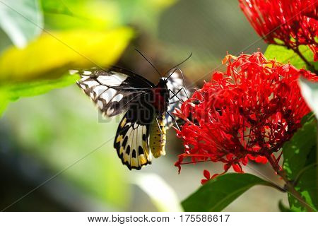 Close-up of a black and red colored butterfly sitting on a red flower eating its nectar to feed itself in the sun.