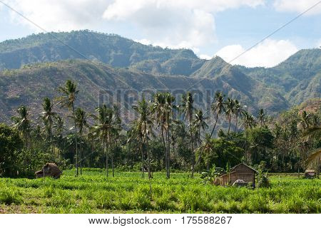 Several palm trees in a row growing on a green field at midday in front of mountains Bali.