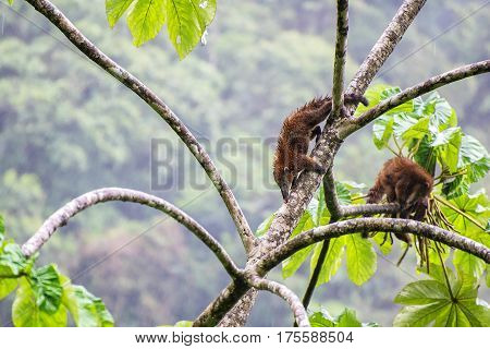 Pair of South American coati looking for food on a tree in Manu National Forest Peru a part of the Amazon