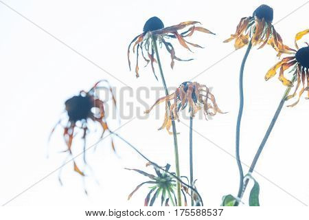 Withered flowers of yellow echinacea on the white background.