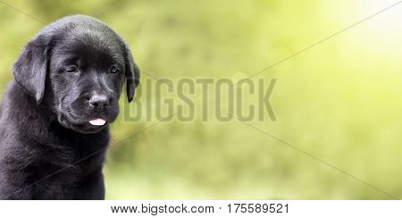 Website banner of a cute Labrador Retriever dog puppy