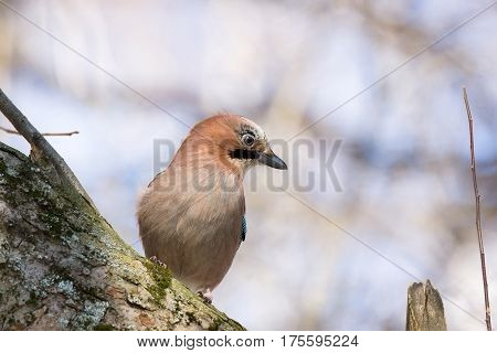 The photo shows jay on a branc