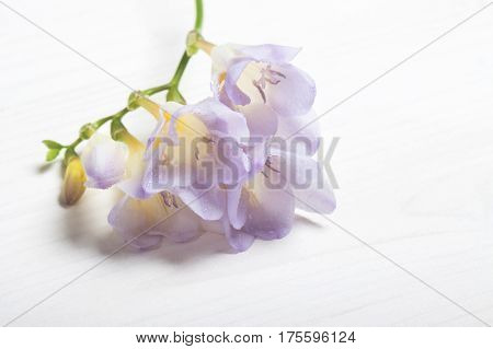Lilac freesia on the white background. Concept of spring Women's Day Mothers day 8 March the holiday greetings tenderness femininity. Place for your text
