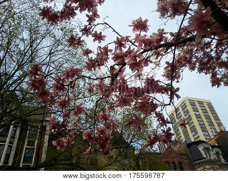 Beautiful lovely pink Cherry Blossom tree flowers in the spring