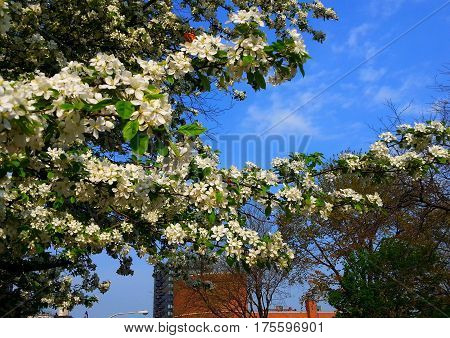 beautiful white cherry blossom tree in full bloom in spring under a blue sky