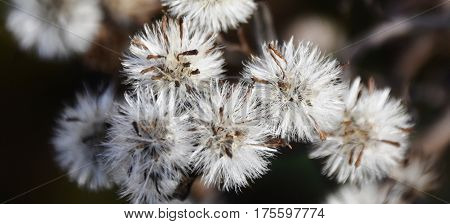 Close up of white Flower seeds in the winter sun