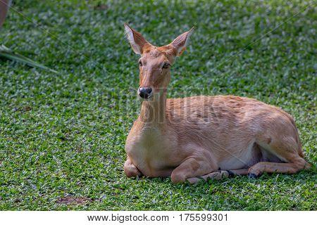 Wild male eld's deer, thamin, brow-antlered deeror Panolia eldii in park