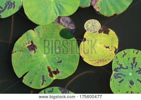 Fruit of lotus or Nelumbo nucifera in Thailand, Asia