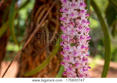 Beautiful lush pink orchid flower blooming in tropical climat