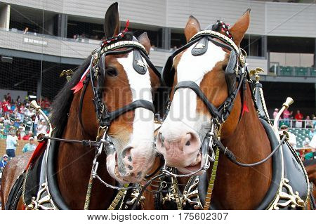 SCOTTSDALE, AZ-MAR 6: Two Clydesdales before the game between the Arizona Diamondbacks and the Oakland Athletics at Salt River Fields at Talking Stick on March 6, 2014 in Scottsdale, Arizona.