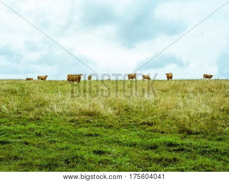 Several orange cows on the horizont looking towards the camera, green meadow with dry grass and cloudy sky, two horizontal halves, Czech republic, central Europe, in muted vibrant colours