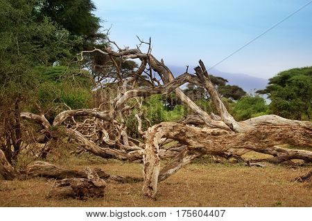 Dry tree in the shroud on the background of Kilimanjaro volcano