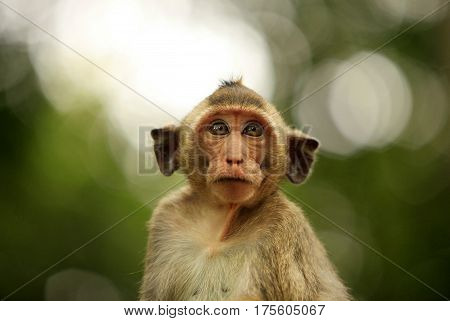 Portrait of the wild monkey in forest. Cambodia