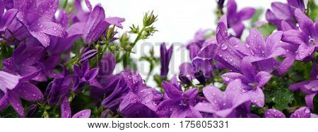 Purple Dalmatian bellflowers (campanula portenschlagiana) isolated on white. Copy space panoramic crop