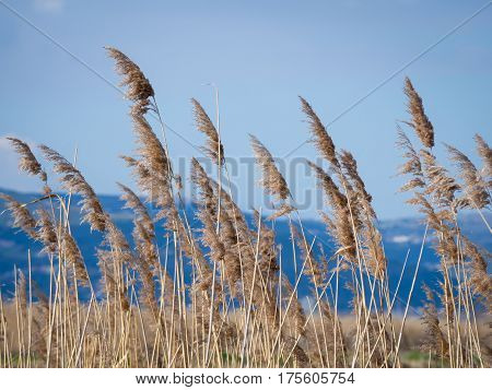 Dry river reed with blue mountains in background