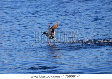 Duck - Mallard (Male), mallard, eurasian wild duck, Anas platyrhynchos walking on the water