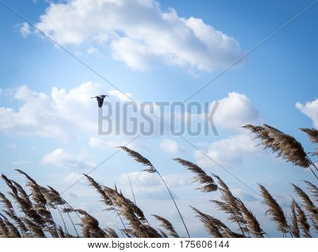 Stork flying in blue sky with reed in foreground