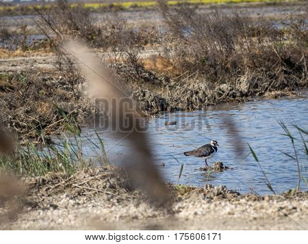 Portrait of a lapwing (vanellus vanellus) in water