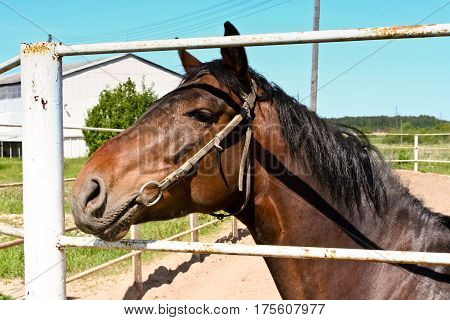 brown horse with black mane of long standing behind the white fence, a portrait in profile, brown eyes, a clear sunny day, blue sky in the background