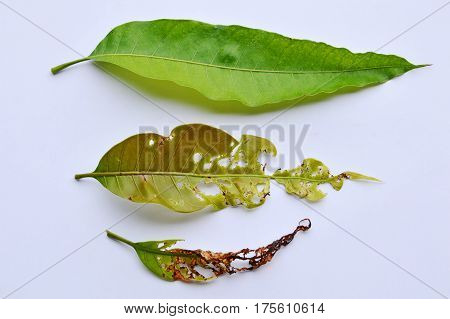 fresh and dry with humus mango leaf on white background