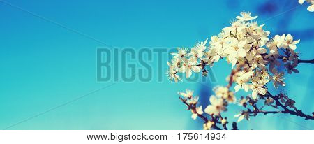 White tender blooming cherry brunch on the blue sky background..Toned.