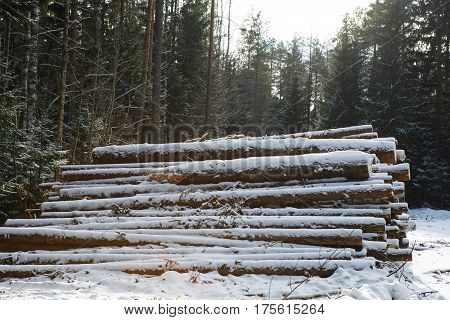 Trunks of trees pines prepared for export in the winter season. Stacked in stacks of sawn forest covered with snow. Industrial logging of pine trees. Nature is used by people.