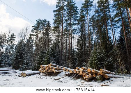 Panorama on trunks of trees pines prepared for export in the winter season. Stacked in stacks of sawn forest covered with snow. Industrial logging of pine trees. Nature is used by people.