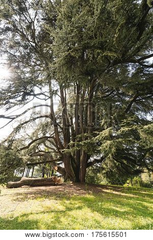 Varese (Lombardy Italy): Giardini degli Estensi historic park at october: an old and big cedar of Lebanon (Cedrus Libani)