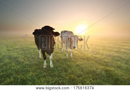 two cows on pasture at misty sunrise
