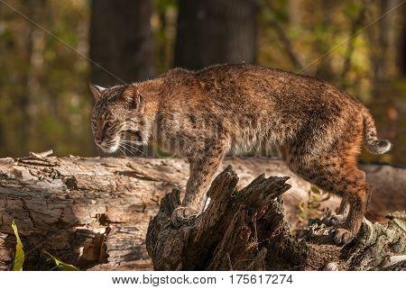 Bobcat (Lynx rufus) Stands Atop Log - captive animal