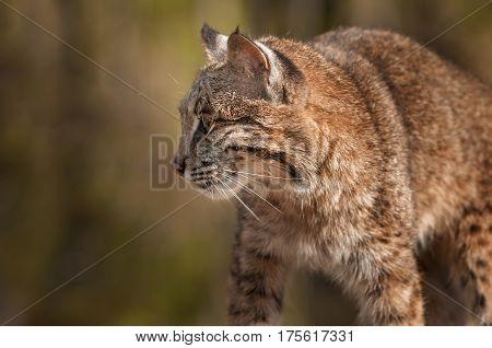 Bobcat (Lynx rufus) Profile - captive animal