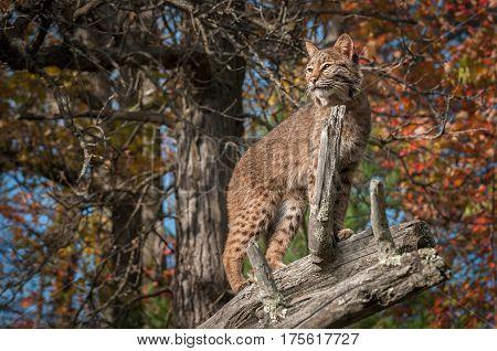 Bobcat (Lynx rufus) From Beneath on Branch - captive animal