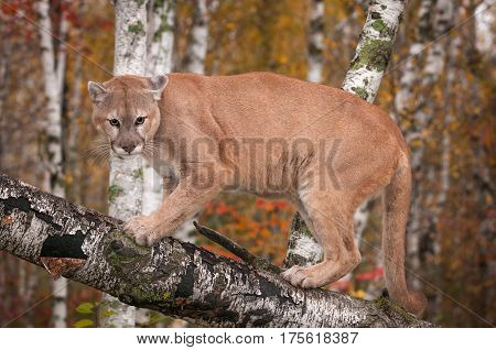 Adult Male Cougar (Puma concolor) Preps to Jump Off Branch - captive animal