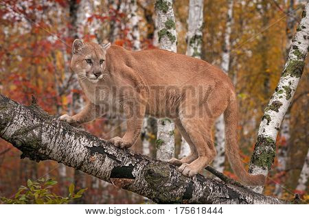 Adult Male Cougar (Puma concolor) Looks Back From Branch - captive animal