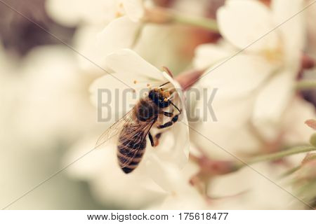 bee insect on white sakura flower blossoming as natural background on blurred backdrop