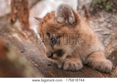 Female Cougar Kitten (Puma concolor) Closeup Profile - captive animal