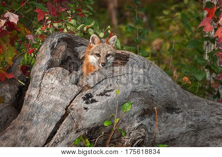 Grey Fox (Urocyon cinereoargenteus) Head Out of Log - captive animal