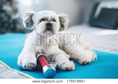 Shih tzu dog fitness style concept. Lying on mat with dumbbells and sports clothing. Bright white colors.